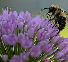 Bumble-Bee on Allium Flower by T.J. Martin