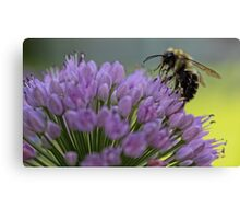 Bumble-Bee on Allium Flower Canvas Print