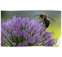 Bumble-Bee on Allium Flower Poster