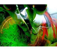 """""""Listening to Malificent"""", portrait of a fighting fish Photographic Print"""