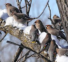 Waxwing Winter Carnival / Bohemian Waxwings by Gary Fairhead