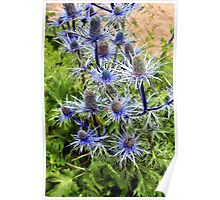 The splendour of sea holly Poster