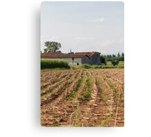 field planted with corn on the cob Canvas Print