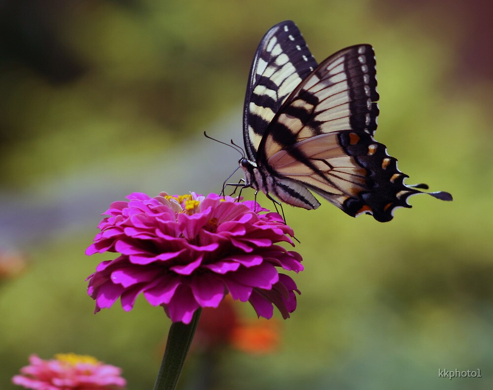 Yellow Tiger Swallowtail Butterfly by kkphoto1