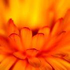 Calendula in flames by Ian Sanders