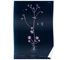 A curious herbal Elisabeth Blackwell John Norse Samuel Harding 1737 0150 White Saxifrage Inverted Poster