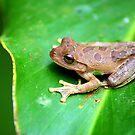 Drab Treefrog (Smilisca sordida) - Costa Rica by Jason Weigner