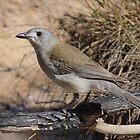 Grey Shrike Thrush by burnettbirder