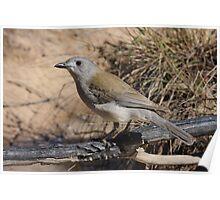 Grey Shrike Thrush Poster