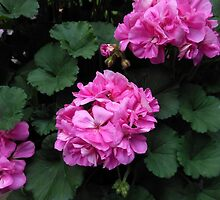 Gentle Geraniums by BlueMoonRose