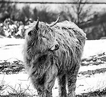 Highland Cow In The Snow 2 by Linsey Williams