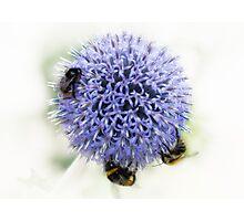 We three bees....... Photographic Print