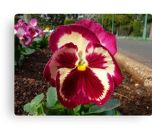 Pansy Flower - Up Close Canvas Print