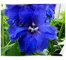 Delphinium Flower - Truely Blue Poster