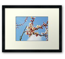 Apricot flowers Framed Print