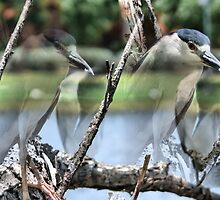 The  Black Crowned Night Blue Heron by Carla Jensen