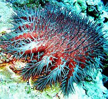 Evil Crown of Thorns feasting on the Great Barrier Reef by sharonjr