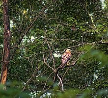 Hawk Drying Out by Rick  Friedle