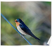 Swallow. Poster
