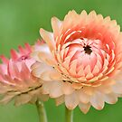 Strawflowers by Ellen McKnight