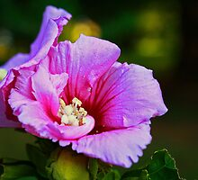 Morning Rose of Sharon by Susan Blevins