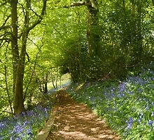 bluebells  in bloom - ide hill , kent  by dawn cox