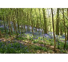 beautiful bluebells Photographic Print