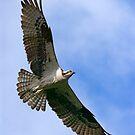 Osprey by Randall Ingalls