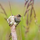Marsh Wren by Randall Ingalls