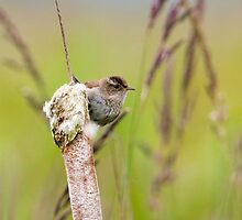 Marsh Wren by Randall Ingalls