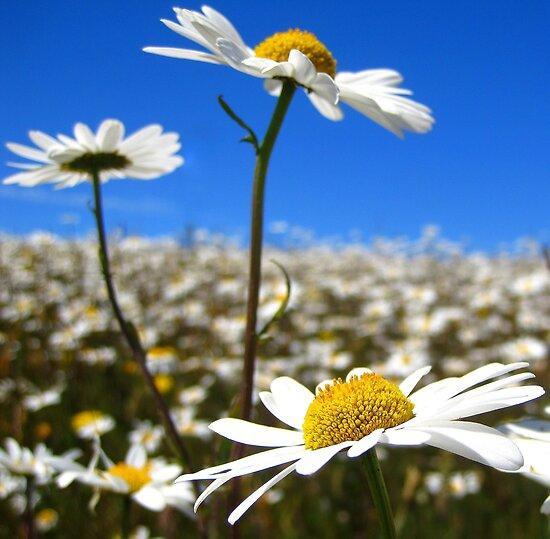 Depth of a Daisy Field by Honor Kyne