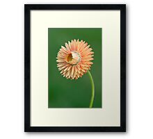 Peach Strawflower Framed Print
