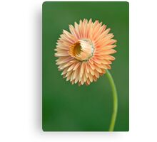 Peach Strawflower Canvas Print