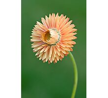 Peach Strawflower Photographic Print