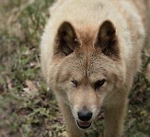Badass Dingo by SonneBellethiel