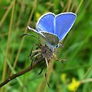 Little Blue Butterfly by ienemien