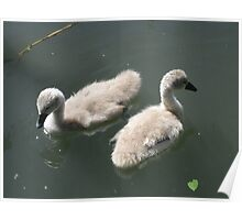 Cygnet Siblings Poster