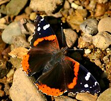 Red Admiral by Brent McMurry