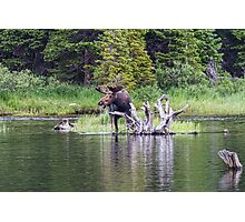 Loose Moose Photographic Print