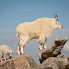 This Way - Goats at Mt. Evans by Teresa Smith
