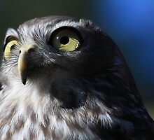 Barking Owl, Healesville Sanctuary by NannaLindy