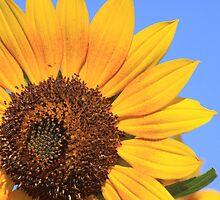Afternoon Sunflower by jmarti