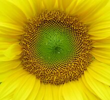 sunflower by Leeanne Middleton