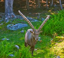 Mr. Horns coming in for a look by Josef Pittner