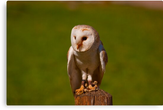 Barn Owl - Omega Parc, Quebec by Josef Pittner