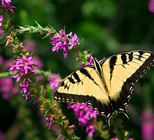 Eastern Tiger Swallowtail by Mark Van Scyoc