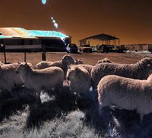 'Roundup' mustering the sheep by BigAndRed