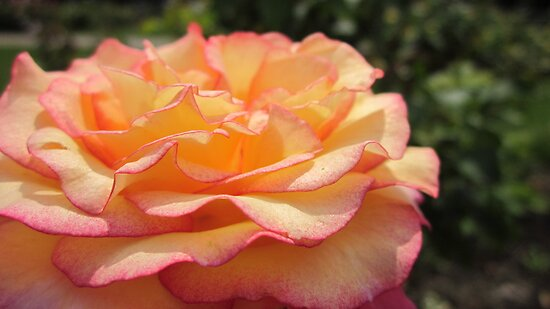 rose by Sherry Freeman