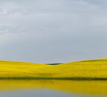Canola panorama by zumi