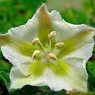 Starfish Weed Flower by Sandra Moore